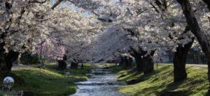 観音寺川の桜の開花情報
