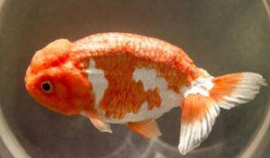 江戸川金魚祭りの高級金魚すくい
